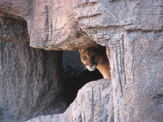 mountain-lion-in-cave.jpg